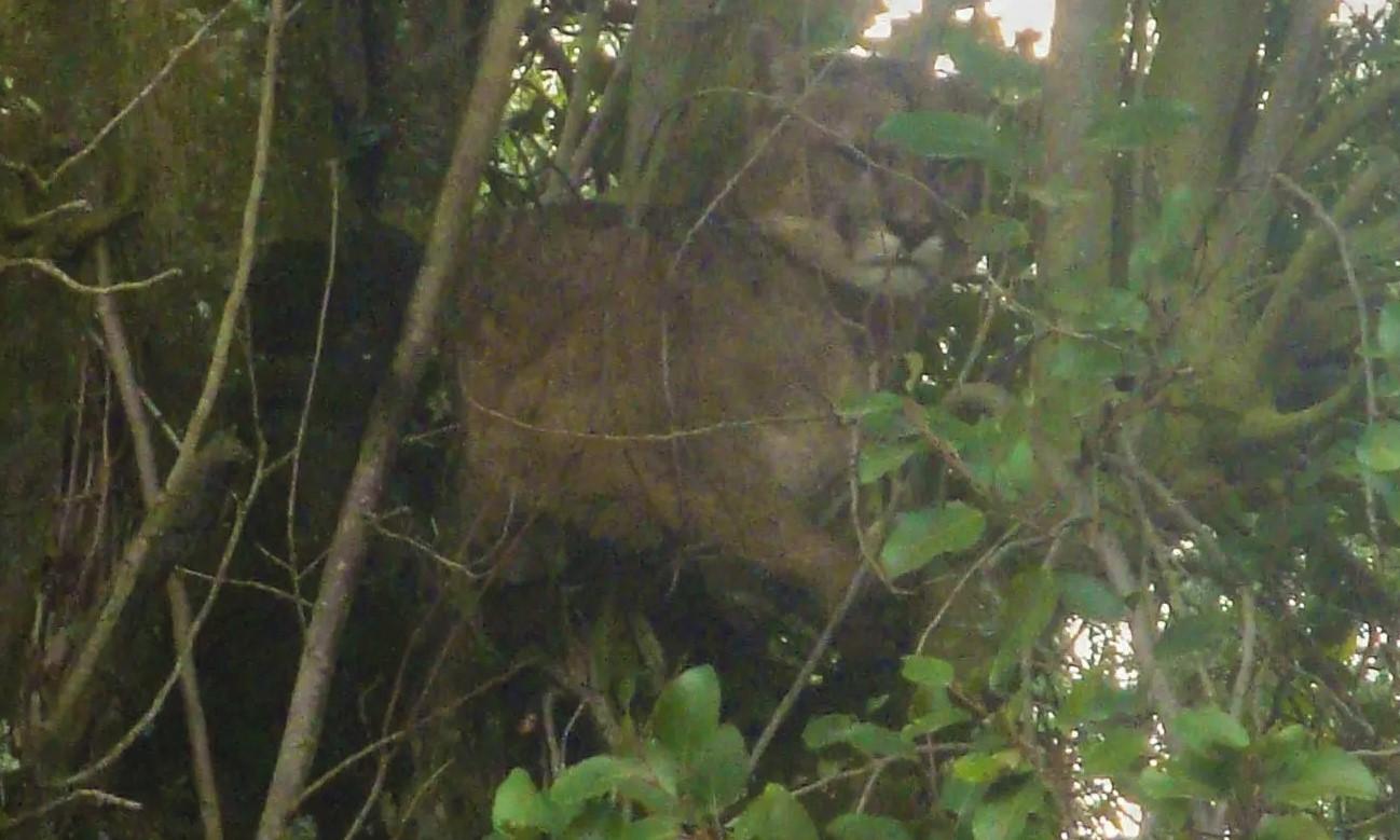 Bariloche: Fauna de Río Negro pidió tranquilidad ante la aparición de un puma en el Centro Cívico